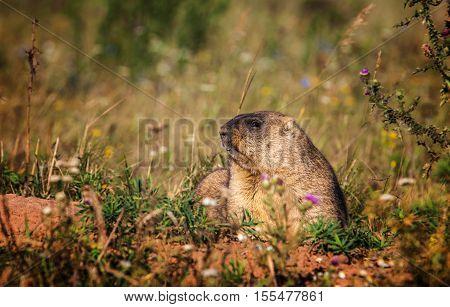 Marmot. Yellow-bellied marmots in Tatarstan, hair, cute, hole