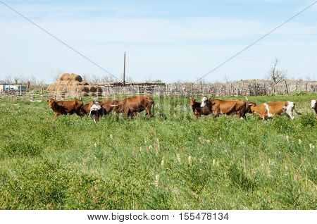 Cow In The Steppes Of Kazakhstan, Livestock