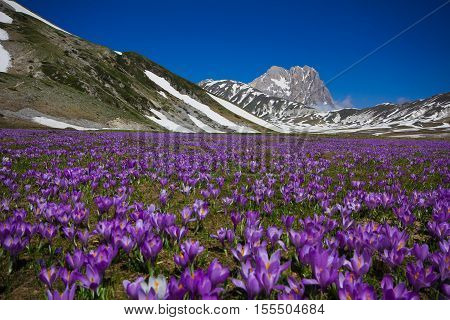 Carpet of wild mountain crocus flowers at Campo Imperatore, Abruzzo - Italy