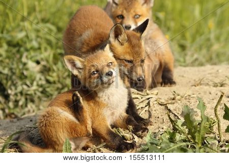 family of young red foxes playing near the den ( Vulpes )