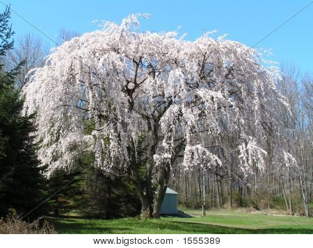 Massive White Weeping Cherry Tree