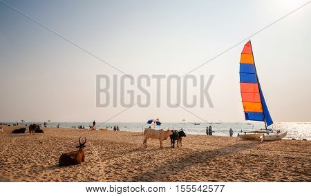 Calangute beach Goa India - Dec 8 2014: Holy Indian cows relaxing on the sand of Calangute beach with the sailboards and tourists in North Goa India
