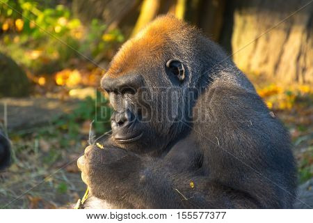 A gorilla holds a twig in hand while gazing intently and seeming to study it.