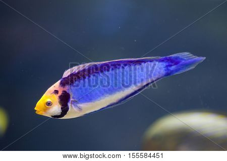 Red-eye wrasse (Cirrhilabrus solorensis), also known as the red-headed fairy wrasse.