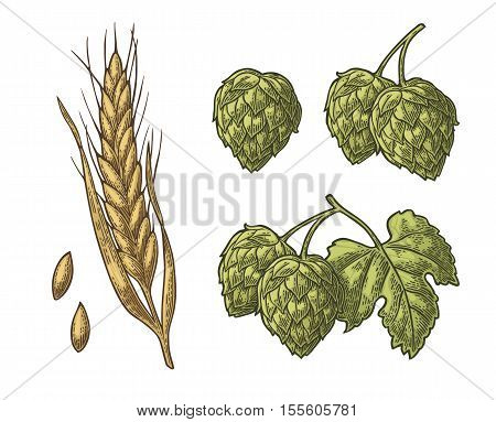 Set hop herb plants with leaf and Ear of barley. Isolated on white background. For labels, packaging and poster with production process brewery beer. Vector color vintage engraved illustration. Hand drawn design element