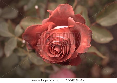 Red rose in autumn garden. Two rose flowers dying in fall, a lot of space for text. Selective focus. Vintage color. Two wilted roses in autumn garden. Red roses is dying blooming season is over.