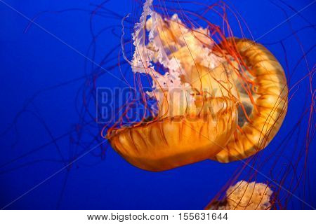 Pacific Sea Nettle Jellyfish (chrysaora Fuscescens)