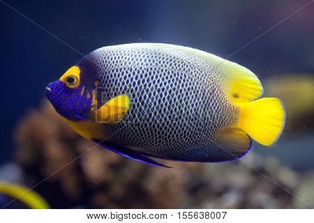 Yellow-faced angelfish (Pomacanthus xanthometopon), also known as the blue-faced angelfish.