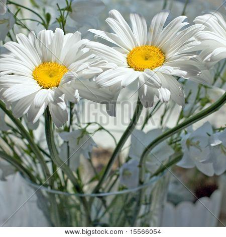 Camomila de flores; Olho de boi-Daisy