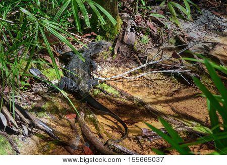 Monitor Lizard, Varanus