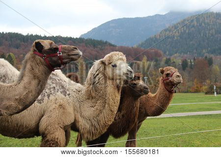 Camel / A camel is an even-toed ungulate within the genus Camelus