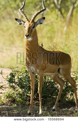 Impala In The Wilds Of Africa