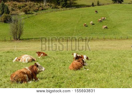 Some cows graze on a lush green meadow in hilly landscape