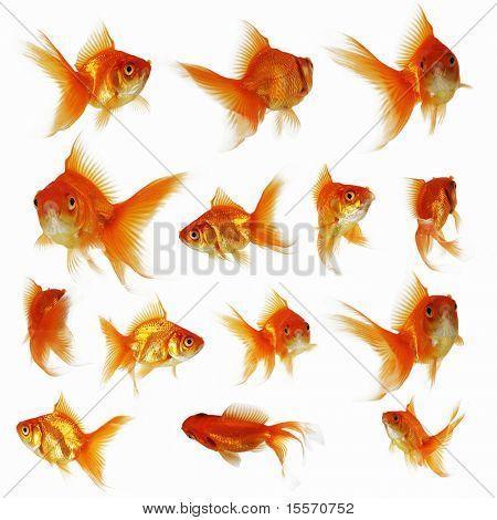Goldfische auf weißem Hintergrund