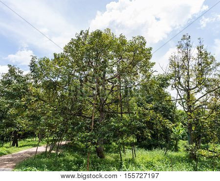 Large durian tree with wooden strut in the organic orchard.