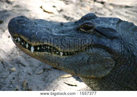 Smiling Aligator