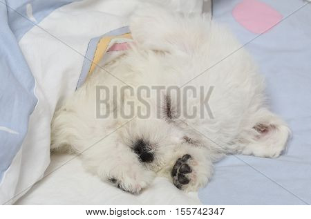 Two months old Pure breed Bichon Frise puppy sleeping in the bed