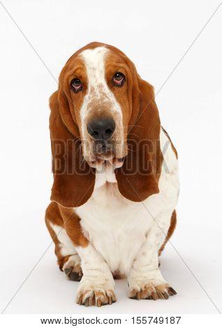Dog, basset hound is sitting on the white background, isolated