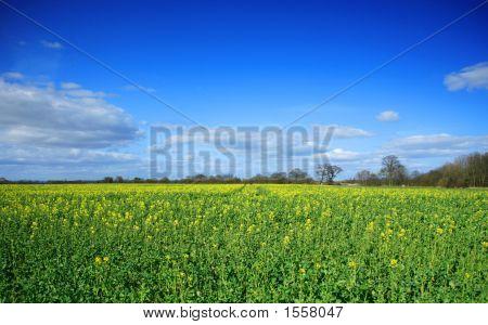 Rapeseed Field Beginning To Flower