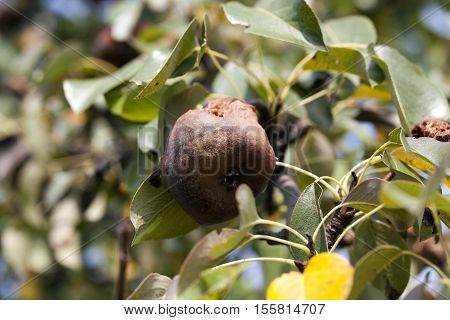 a rotten pear, which is hanging on the tree in the orchard. Photo close-up, small depth of field.