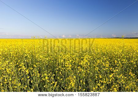 photographed growing in agricultural field rape flower, blue sky in the background