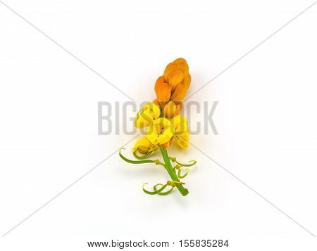 Close up Senna alata flower on white background the flower of herbal product in Thailand