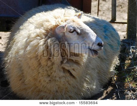 Happy Wooly Sheep