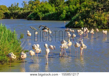 Evening in the National Park of Camargue, Provence, France. Large flock of pink flamingos. Exotic birds roost at sunset