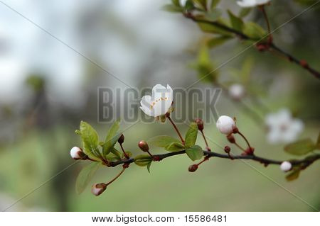 plum blossom outdoor