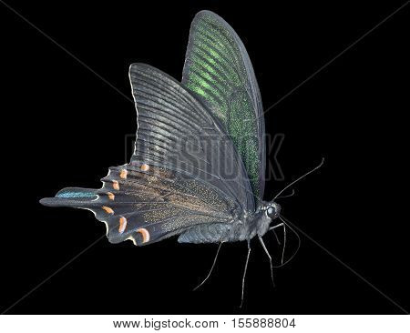 A close up of the butterfly swallowtail (Papilio maackii). Isolated on black.