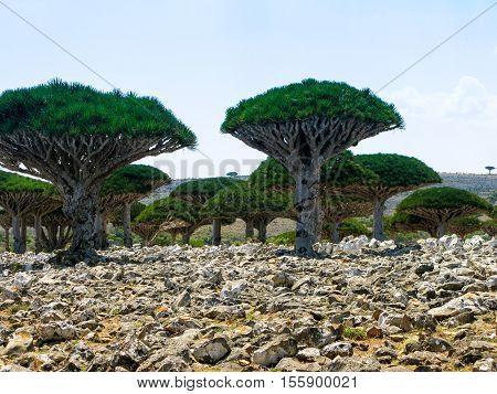 Dragon tree forest endemic plant of Socotra island Yemen