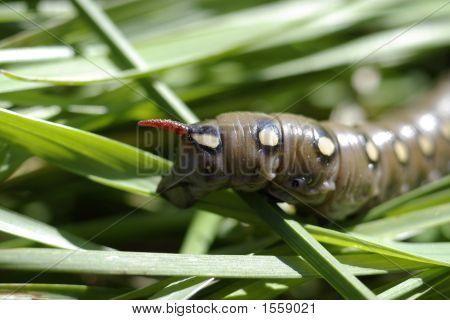 Brown Caterpillar