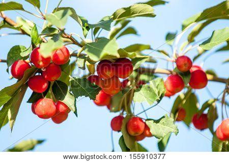 Crabapple And Wild Apple.