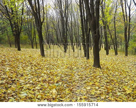 Pathway through yellow autumn maple forest .