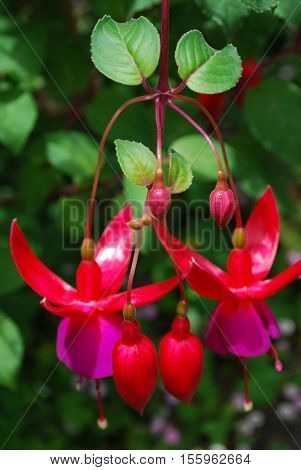 Pretty blooming purple and red fuchsia flowers dangling.
