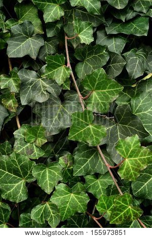 Leafy Green Ivy Vines - Foliage Background