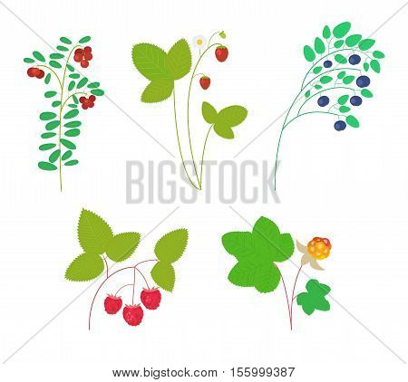 Set of isolated wild berries on white background: cranberry strawberry blueberry raspberry cloudberry