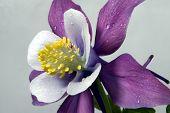 image of columbine  - Image of a columbine flower close - JPG