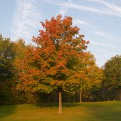 picture of maple tree  - red maple tree turning colors - JPG