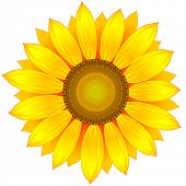 vector illustration sunflower