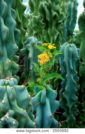 Flower Among Cactus Thorns