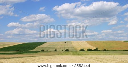Grain Field With Single Tree