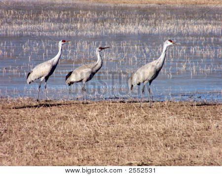 Cranes In A Row