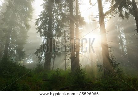 Coniferous wood in mountains Carpathians with a fog and the sun