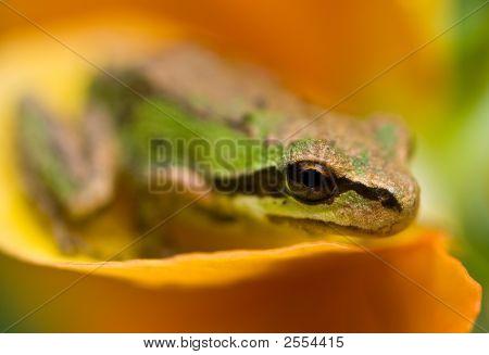 Tiny Tree Frog on Flower Petal