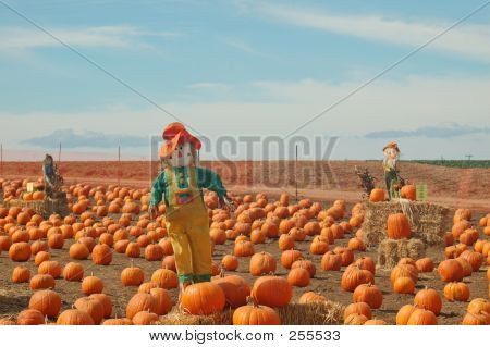 Scarecrow In A Pumkin Patch