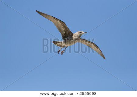 Kelp Gull Juvenileimg_4262