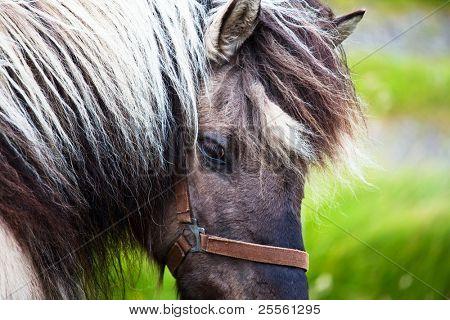Horses on Faroe islands
