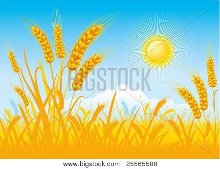 Wheat field,  blue sky and clouds