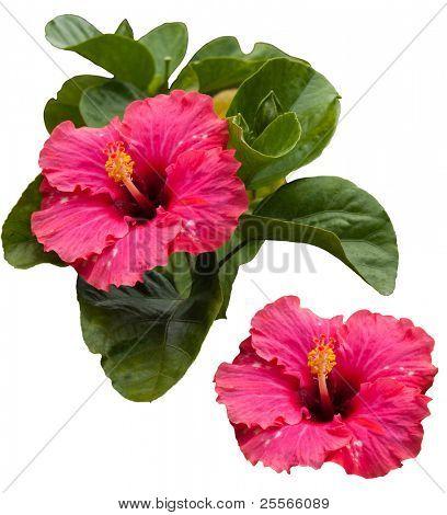 Hibiscus Rosa tropical hermosa y sus hojas, aislados sobre fondo blanco